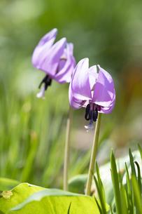 カタクリの花の写真素材 [FYI04788192]
