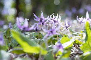 カタクリの花の写真素材 [FYI04788196]