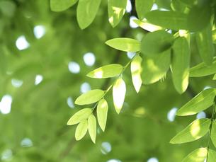 木漏れ日にかがやく新緑の写真素材 [FYI04788198]