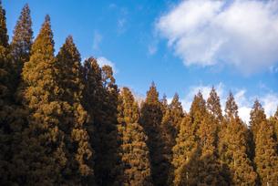 一月の杉林の写真素材 [FYI04788342]