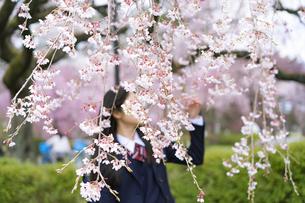 桜と女子学生の写真素材 [FYI04788824]