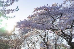 桜と陽光の写真素材 [FYI04788939]