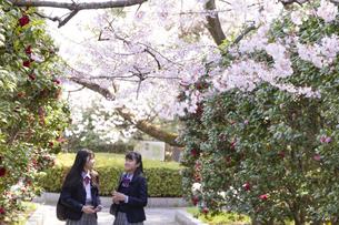 桜と女子学生2人の写真素材 [FYI04788940]