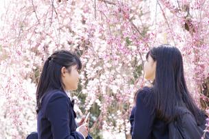 桜と女子学生2人の写真素材 [FYI04788943]