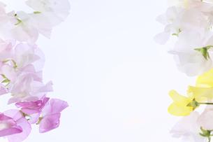 白バックの様々な色のスイートピー の写真素材 [FYI04789274]