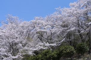 桜山公園の桜の花の写真素材 [FYI04789713]