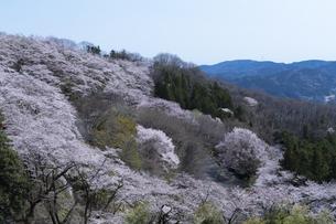 桜山公園の桜の花の写真素材 [FYI04789724]