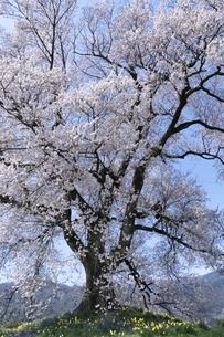 わに塚の桜とスイセンの写真素材 [FYI04789732]