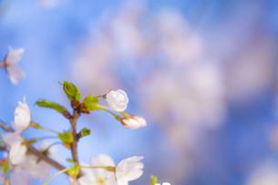 桜の花アップ  の写真素材 [FYI04789767]