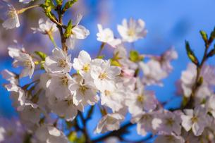 桜の花アップ の写真素材 [FYI04789768]