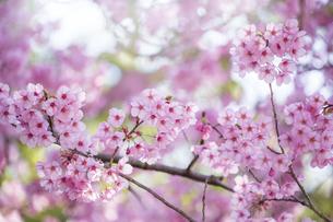 桜の花アップ の写真素材 [FYI04789777]