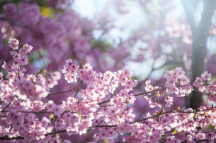 桜の花アップ の写真素材 [FYI04789779]