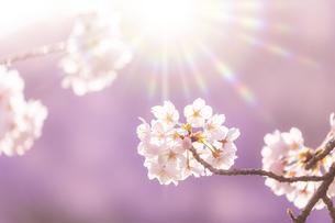 桜の花アップ の写真素材 [FYI04789782]