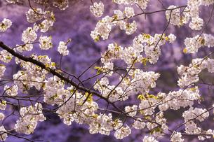 桜の花アップ の写真素材 [FYI04789783]