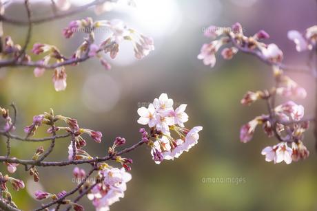 桜の花アップ  の写真素材 [FYI04789784]