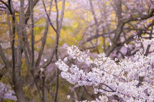 桜の花の写真素材 [FYI04789786]