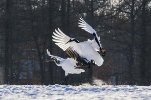 飛んでいる鶴 の写真素材 [FYI04789922]