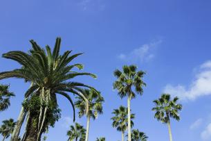 ビーチリゾートの青空の下の椰子の木の写真素材 [FYI04790020]