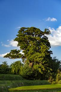 奈良御所市風の森の大杉(大川杉)の写真素材 [FYI04790081]