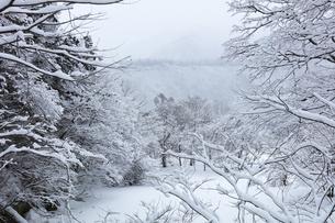 冬の白川郷 木立の雪景色の写真素材 [FYI04790168]