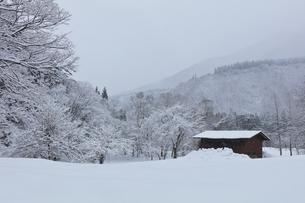 冬の白川郷 木立の雪景色の写真素材 [FYI04790315]