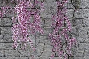 枝垂れ桜の写真素材 [FYI04790873]