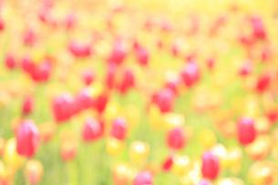 チューリップ畑 ボケイメージ背景素材の写真素材 [FYI04791056]