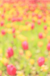 チューリップ畑 ボケイメージ背景素材の写真素材 [FYI04791057]