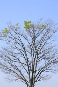 若葉が芽吹いた樹の写真素材 [FYI04791060]