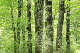 8月 桃洞滝へ至る遊歩道のブナ林の写真素材 [FYI04791174]