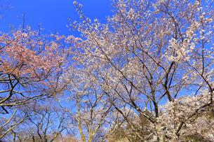 美の山公園と桜の写真素材 [FYI04791330]
