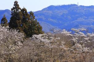 美の山公園と桜の写真素材 [FYI04791334]