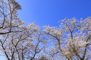 美の山公園と桜の写真素材 [FYI04791336]