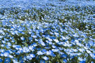 ネモフィラの花の写真素材 [FYI04791519]