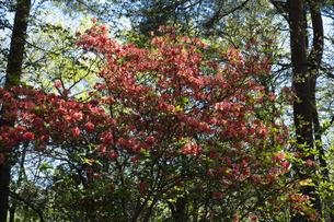 ヤマツツジの花の写真素材 [FYI04791520]