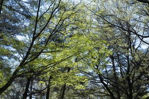 コナラの新緑の写真素材 [FYI04791521]
