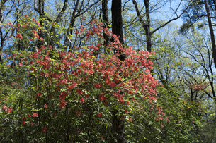 ヤマツツジの花の写真素材 [FYI04791522]