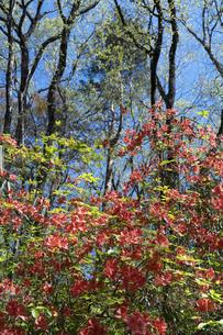 ヤマツツジの花と新緑の写真素材 [FYI04791525]