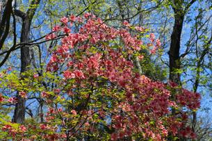 ヤマツツジの花の写真素材 [FYI04791526]