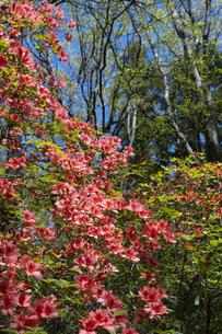 ヤマツツジの花の写真素材 [FYI04791528]