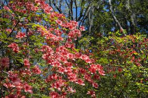 ヤマツツジの花の写真素材 [FYI04791529]