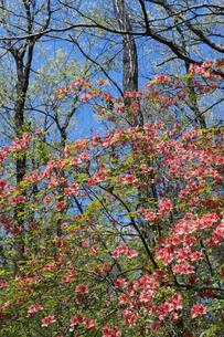 ヤマツツジの花の写真素材 [FYI04791530]