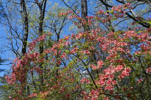 ヤマツツジの花の写真素材 [FYI04791531]