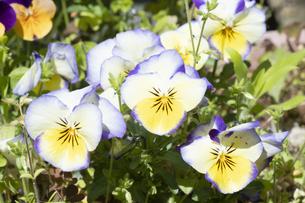 パンジーの花の写真素材 [FYI04791548]