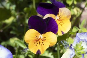 パンジーの花の写真素材 [FYI04791549]