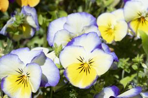 パンジーの花の写真素材 [FYI04791550]