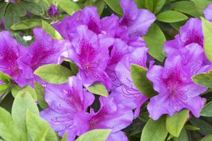 ツツジの花の写真素材 [FYI04791551]