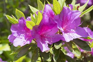 ツツジの花の写真素材 [FYI04791552]