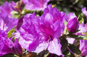 ツツジの花の写真素材 [FYI04791553]