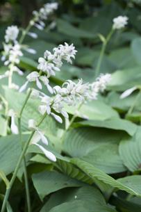 オオバギボウシの花の写真素材 [FYI04791564]